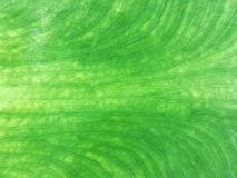 Close up for texture lines of a fresh green cococasia leave stock image