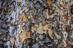 Free Close-up Texture Of Chinese Elm Tree Trunk With Orange Mottled Areas Stock Photos - 108067613