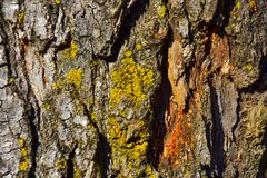 Close-up texture of Pine tree bark with orange cambium and yellow green lichen. Close-up of rough Pine tree bark with orange cambium and yellow green lichen royalty free stock photo
