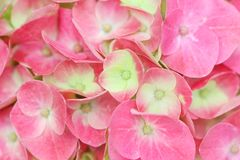 Texture pink hydrangea flowers ,natural patterns background stock photography