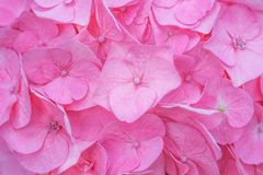 Texture pink hydrangea flowers ,Natural patterns background stock images