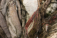 Close up texture of root Royalty Free Stock Photography