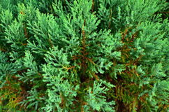 Close up texture of small green leaves Chinese Arborvitae. Or Orientali Arborvitae, Science name as Thuja orientalis Endl Royalty Free Stock Image