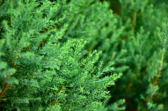 Close up texture of small green leaves Chinese Arborvitae Royalty Free Stock Photos
