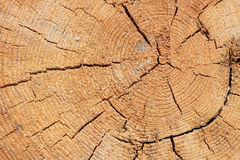 Close-up texture of a tree. Photo texture of a cut of a natural pine tree close-up Royalty Free Stock Photography
