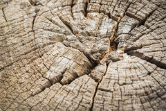 Close up Texture of tree stump. Section of the trunk with annual rings Royalty Free Stock Image