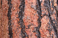 Close up of texture on trunk of a Ponderosa Pine tree Royalty Free Stock Photos