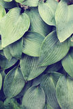 Close up of textured blue green hosta leaves Royalty Free Stock Images