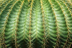 Close up textured of cactus plant Stock Image