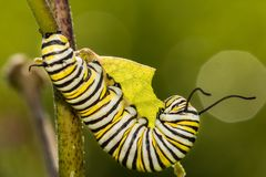 Monarch Butterfly Caterpillar eating milkweed. A close up of a 5th instar Monarch Caterpillar eating milkweed in a field in New England royalty free stock images