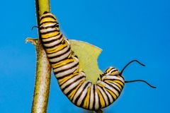 Monarch Butterfly Caterpillar eating milkweed. A close up of a 5th instar Monarch Caterpillar eating milkweed in a field in New England stock photography