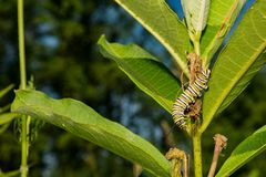 Monarch Butterfly Caterpillar eating milkweed. Royalty Free Stock Image