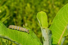 Monarch Butterfly Caterpillar eating milkweed. Stock Images