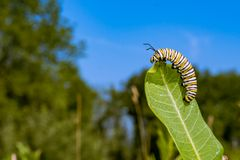 Monarch Butterfly Caterpillar eating milkweed. A close up of a 5th instar Monarch Caterpillar eating milkweed in a field in New England stock images