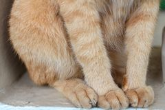 Close up Thai cat body. stock photos