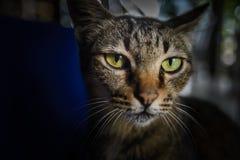 Close up Thai cat face Stock Photos