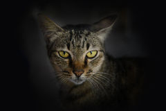 Close up Thai cat face Royalty Free Stock Image