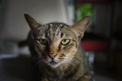 Close up Thai cat face Royalty Free Stock Photography