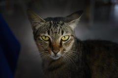 Close up Thai cat face Stock Photography