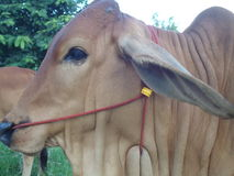 Close up Thai cow Royalty Free Stock Photo