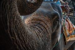 Thai Elephant,Close up Thai elephant stock images
