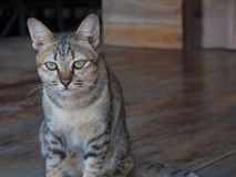 Thai little young cat sitting on the wooden floor stock photos