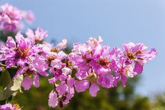 Close up thai sagura flower. Against a cloudy blue sky Royalty Free Stock Image