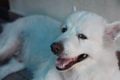 Close-up Thaise witte hond Stock Foto's