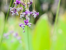 Close up of Thalia   geniculata      flower Stock Photography