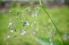 Close up of Thalia   geniculata      flower Royalty Free Stock Photos