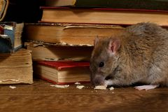 Free Close-up The Rat Chewing Paper Near Pile Of Old Books In The Library Stock Photos - 140208053