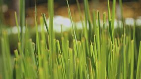 Close up thick green grass super slow motion video, reeds in the wind with beautiful bokeh, full hd
