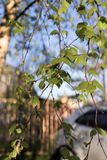Fresh green foliage on thin birch branches close up. stock photo