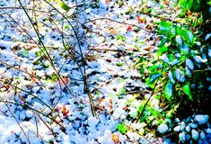 Close up of a thin layer of white snow on woodland ground peakin. Close up of a layer of fluffy white snow on a woodland ground, peaking through the snow is the Stock Image