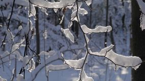 Thin tree branches covered with thick layer of fresh snow stock video footage