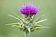 Close up of thistle Royalty Free Stock Photo