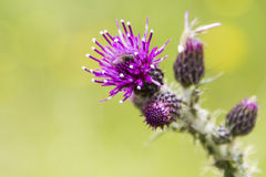 Close-up of a Thistle bloom, the national flower of Scotland Stock Image