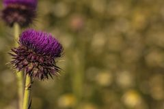 Close-up of a thistle flower with unfocused background stock image