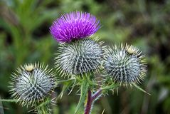 Close up of thistles. A close up view of thistles, the national plant of scotland stock image