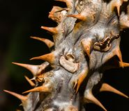 Thorns. Close up of thorn branch of a cactus plant royalty free stock photo
