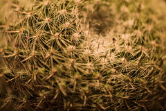 Close up of Thorn cactus texture background Royalty Free Stock Image