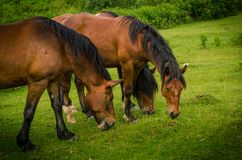 Close up of three beautiful brown horses grazing on a green meadow Stock Photos