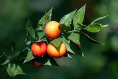 Three beautiful fruits of a ruscus aculeatus butcher´s broom plant royalty free stock photo