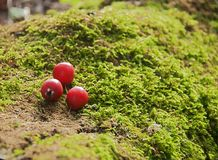 Red berries lie on moss royalty free stock photo
