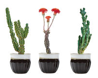 Three cactuses in pot. Close up of three cactuses in pot Stock Images
