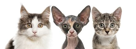 Close-up of three cats looking at the camera Stock Images