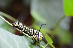 Macro photo of three monarch caterpillars outside on a green stem royalty free stock images