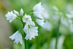 Three cornered garlic  in bloom. Close up of three cornered garlic flowers in bloom Stock Images