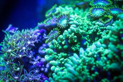 Mushroom zoanthid and star polyp corals. A close up of three different corals underwater: Mushroom, Zoanthid and star polyp Royalty Free Stock Photo