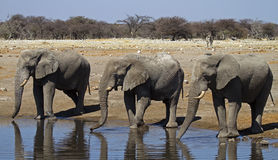 Close-up of three elephant bulls at waterhole. Loxodonta africana stock photo
